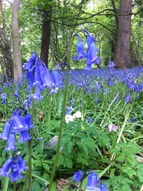 Native British Bluebells