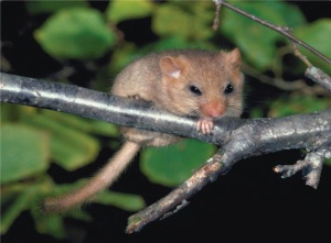 Fig 5- 2    The dormouse is one of many woodland creatures whose populations have declined in recent years.
