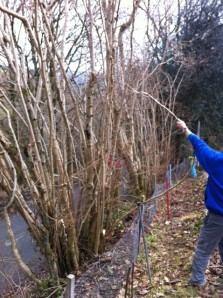 Assess the hedge for dead trees and hanging branches