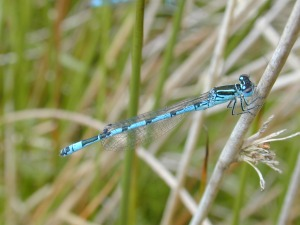 Male Southern Damselfly.  Photograph by Dave Smallshire